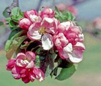 blossomBackground